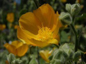 Abutilon Palmeri Native Plant Database