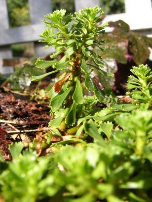 Primula suffrutescens - Native Plant Database