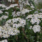 450px-Achillea_millefolium_11Gilliland