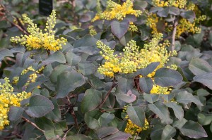 800px-Berberis_repens_'rotundifolia'