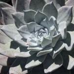 Dudleya_brittonii_San Marcos Growers