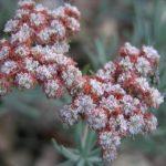 Eriogonum_arborescens2