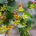 Ribes_aureum_gracillimum_17_Ken Gilliland