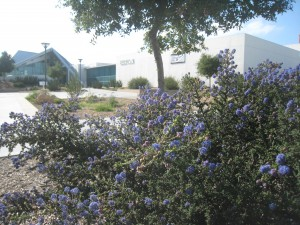 A California lilac in full bloom at the Topanga Police Station, a community effort mentored by TPF.